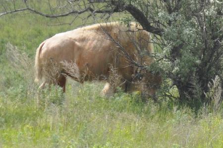 Real Rare White Buffalo And A Big Buffalo Statue In