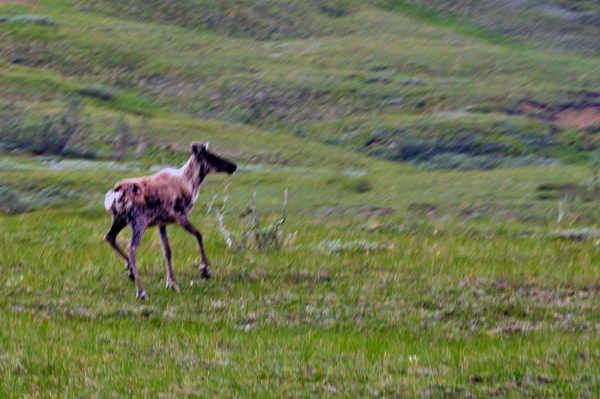 The Two Rv Gypsies Saw Wildlife In Denali National Park
