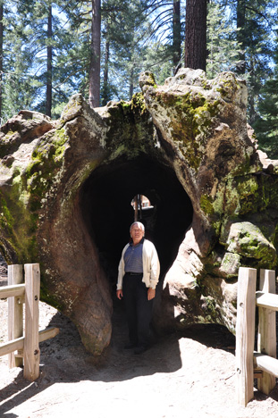 Lee walking through a felled Sequoia tree
